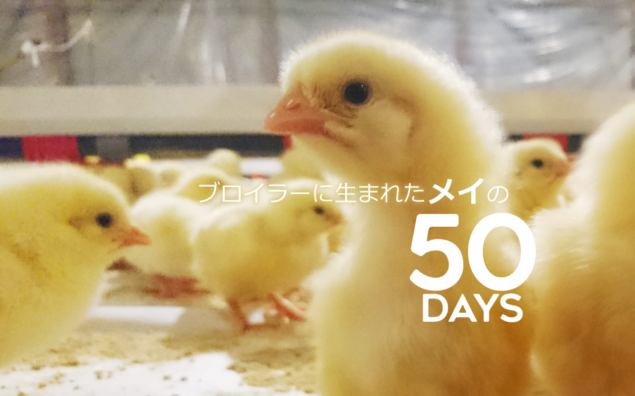 50days cover (50 days of Mei the broiler)