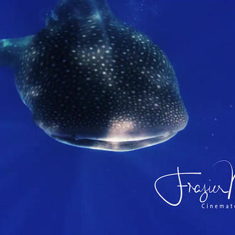 Whale Shark photo by Frazier Nivens for Ceviche Tours